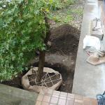 地植えの梅を移植した!