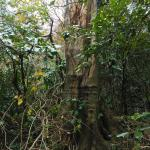 台風で倒れたエノキの大木