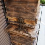 日本ミツバチ養蜂、再開しました